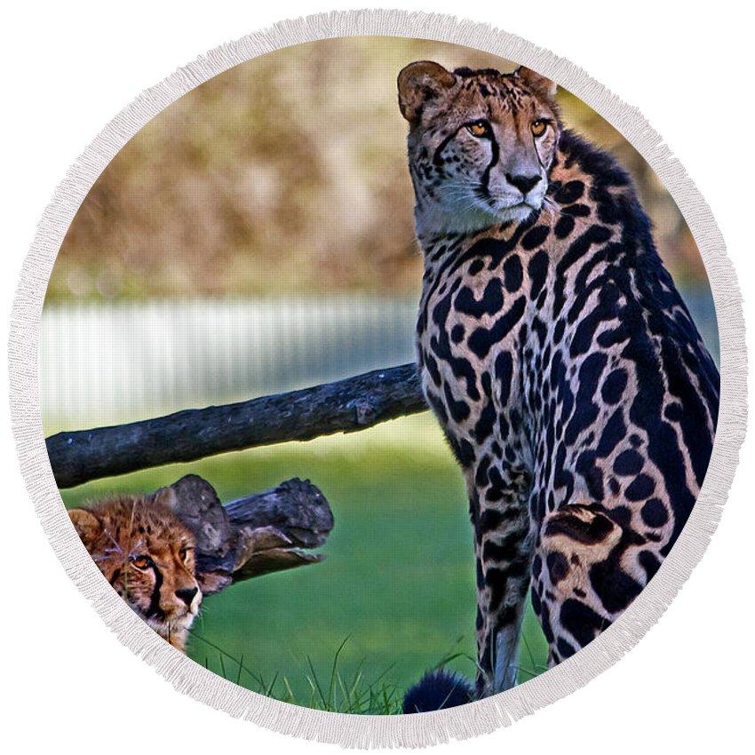#king Cheetah Round Beach Towel featuring the photograph Dubbo Zoo Queen - King Cheetah And Cub by Miroslava Jurcik