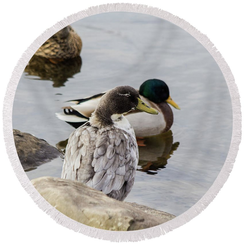 Duck Round Beach Towel featuring the photograph Duck, Duck by Barbara Blanchard