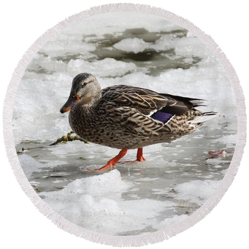 Duck Round Beach Towel featuring the photograph Duck Walking On Thin Ice by Carol Groenen