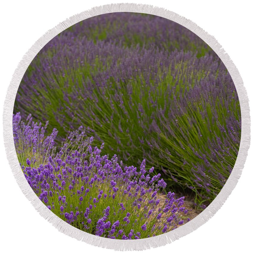 Lavender Round Beach Towel featuring the photograph Early Morning Lavender by Mike Reid