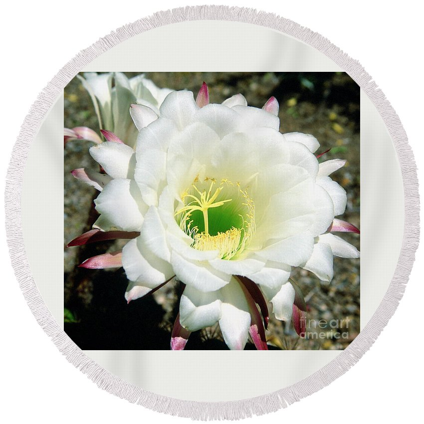 Wildflowers Round Beach Towel featuring the photograph Easter Lily Cactus Flower by Kathy McClure