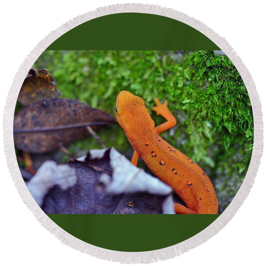 Eastern Newt Round Beach Towel featuring the photograph Eastern Newt by David Rucker