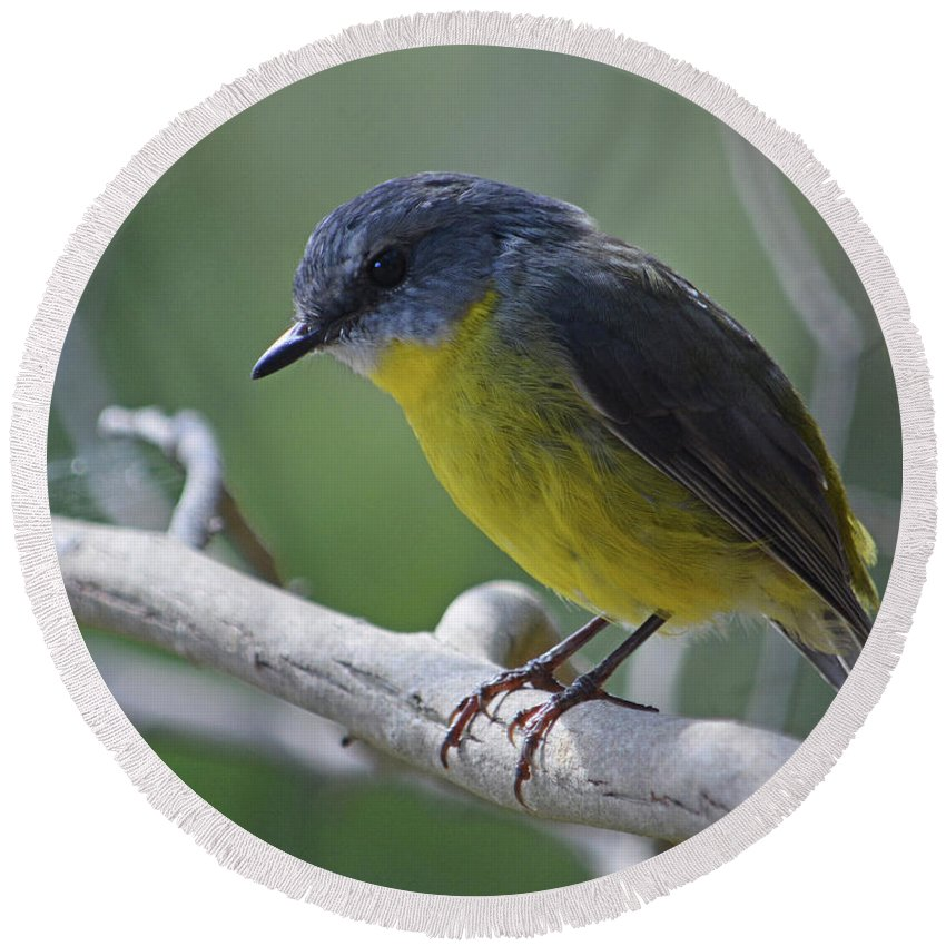 Robin Round Beach Towel featuring the photograph Eastern Yellow Robin by Peter Krause