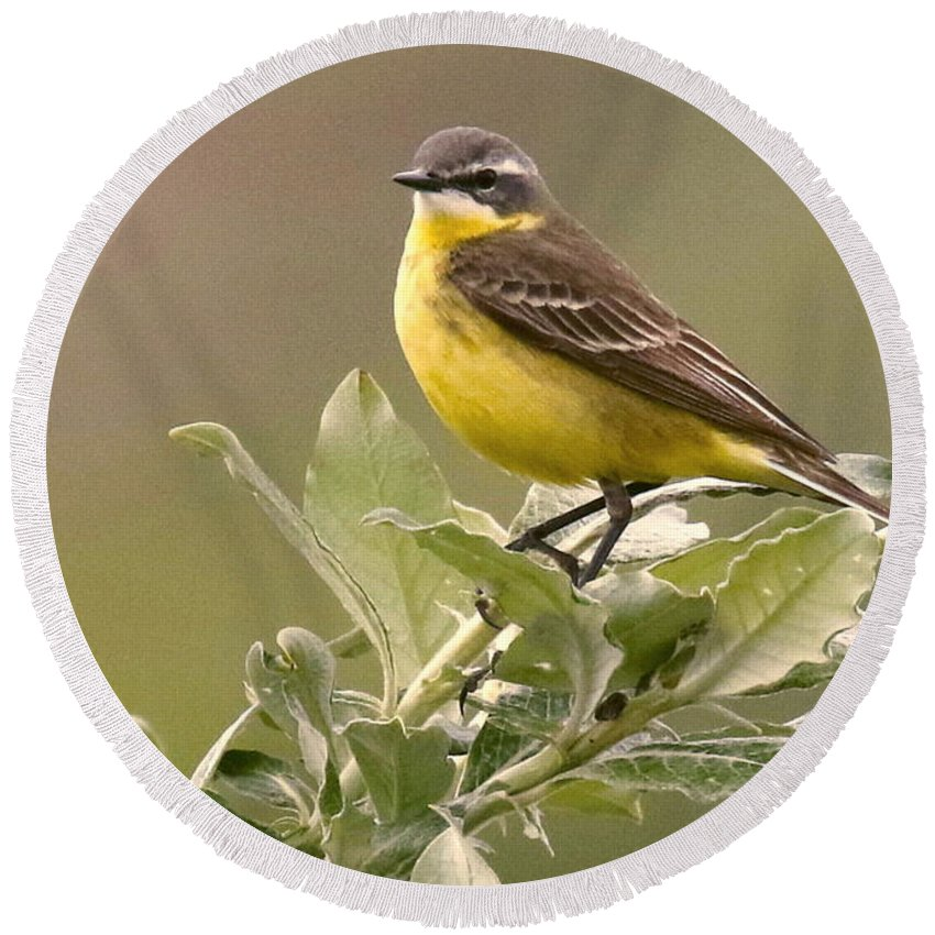 Birds Round Beach Towel featuring the photograph Eastern Yellow Wagtail by Myrna Bradshaw