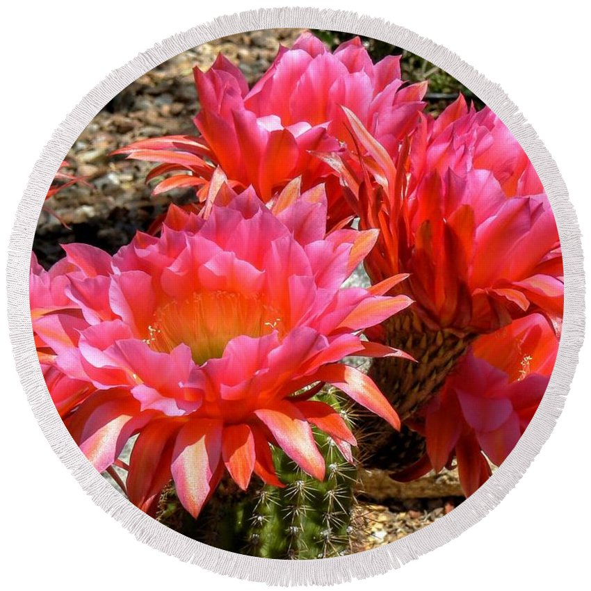 Cactus Flower Round Beach Towel featuring the photograph Echinopsis Flowers In Bloom II by Rincon Road Photography By Ben Petersen