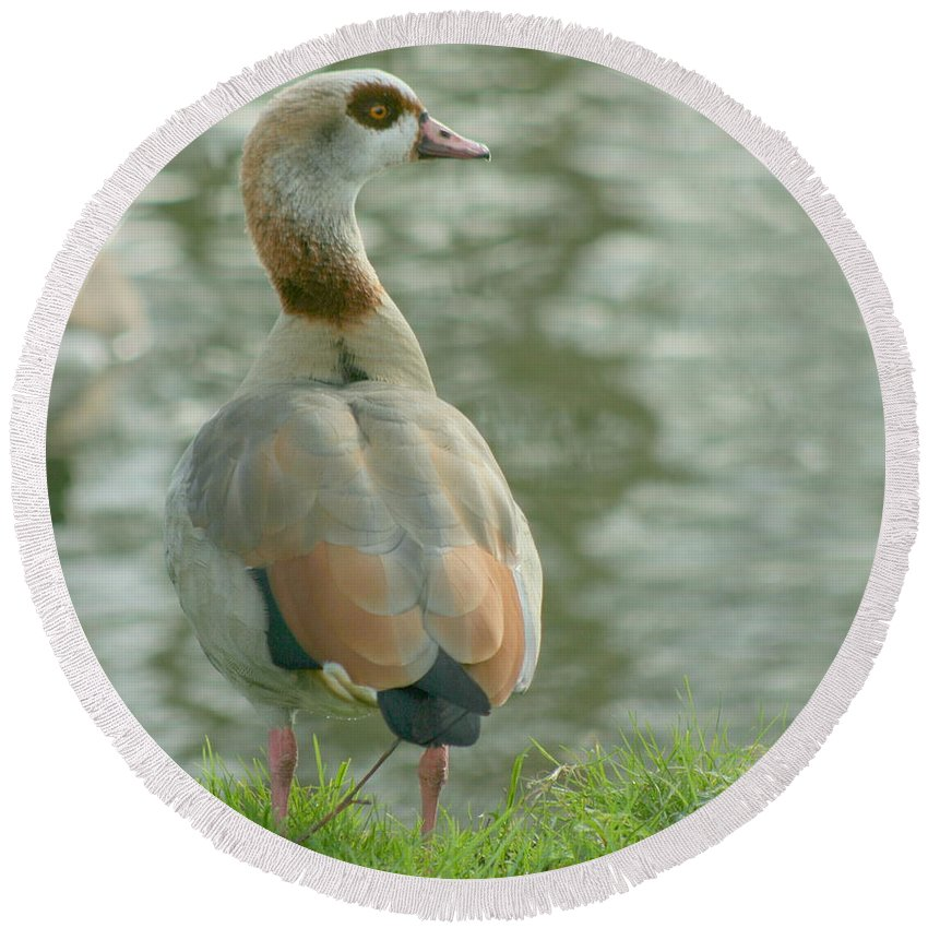 Egyptian Round Beach Towel featuring the photograph Egyptian Goose by Eric Wallis