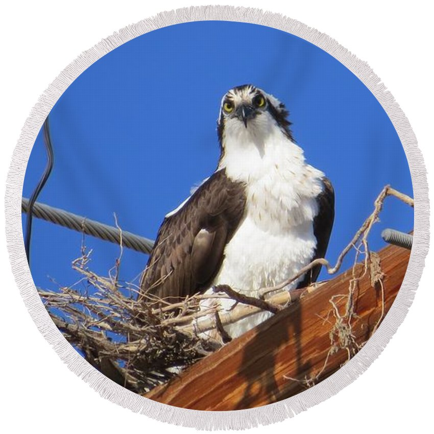 Osprey Round Beach Towel featuring the photograph Electric Blue Osprey by Christi Chapman