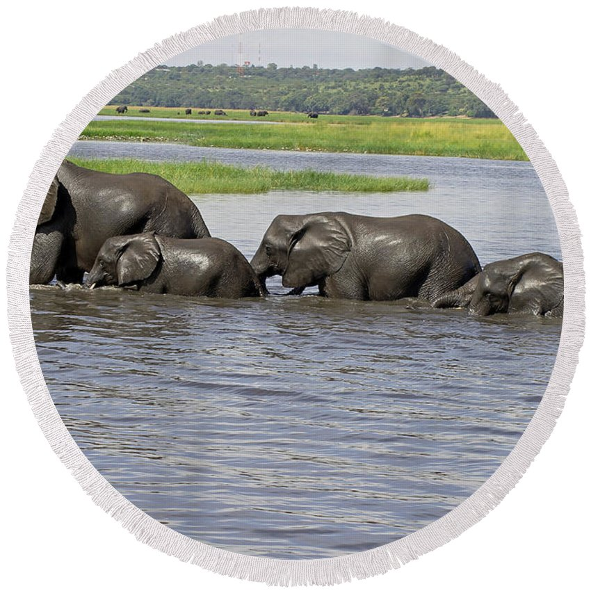 Elephants Crossing River Round Beach Towel featuring the photograph Elephants Crossing Chobe River by Tony Murtagh