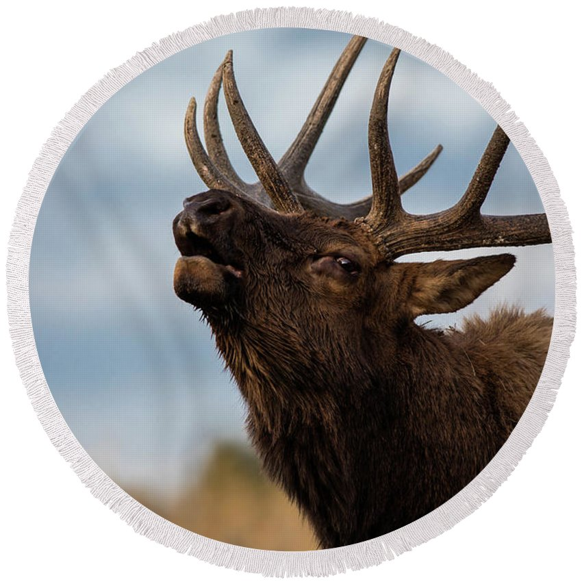 200-400mm 5dsr Round Beach Towel featuring the photograph Elk's Screem by Edgars Erglis