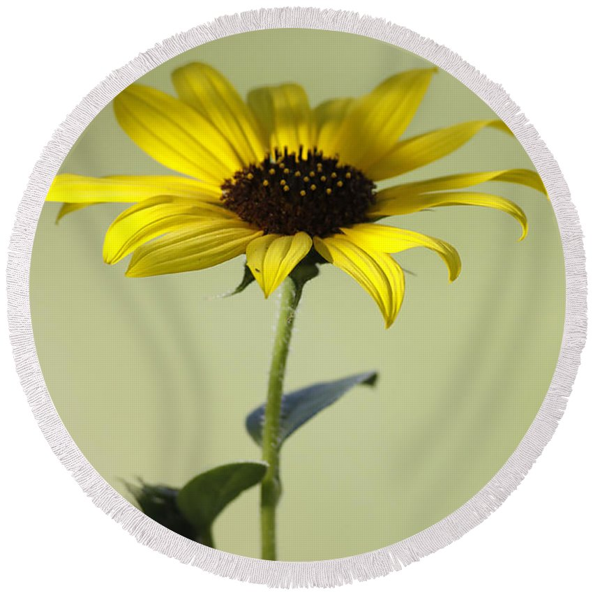 Sunflower Round Beach Towel featuring the photograph End Of The Season by Deborah Benoit