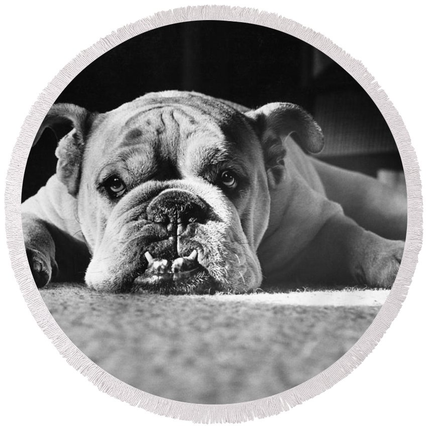 Animal Round Beach Towel featuring the photograph English Bulldog by M E Browning and Photo Researchers