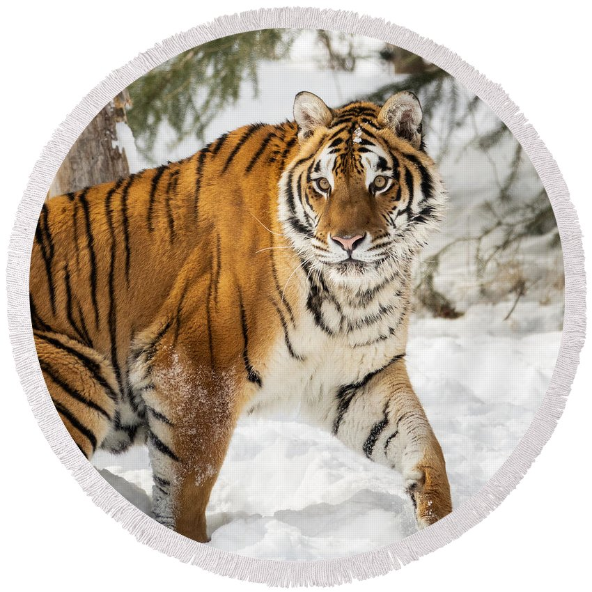 Tiger Round Beach Towel featuring the photograph Eye Of The Tiger by Elizabeth Waitinas