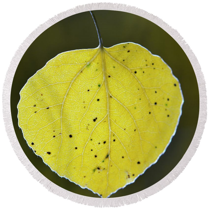 Fall Aspen Leaf Round Beach Towel featuring the photograph Fall Aspen Leaf by Gary Langley