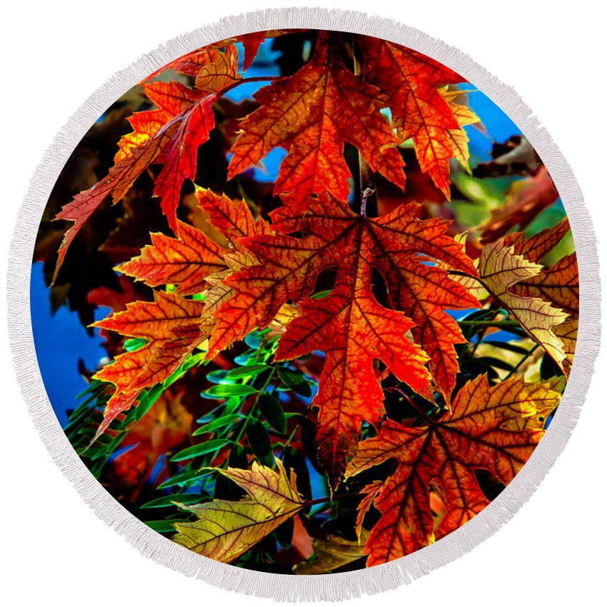Maple Round Beach Towel featuring the photograph Fall Reds by Robert Bales