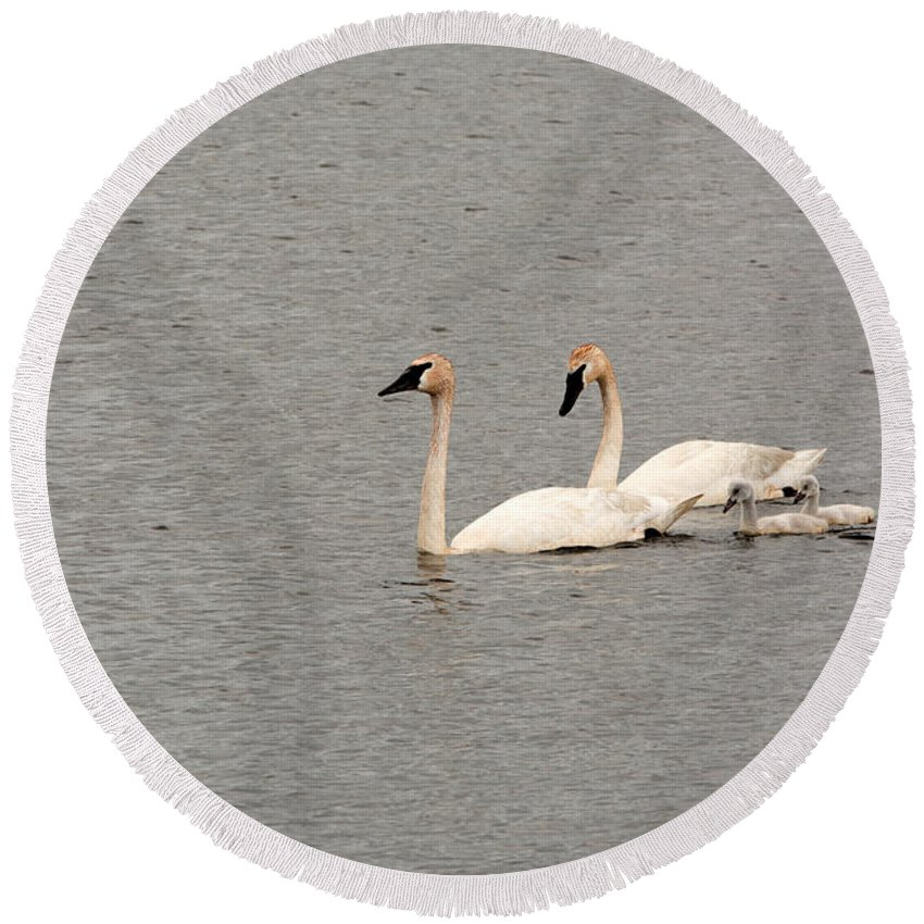 Trumpeter Swan Round Beach Towel featuring the photograph Family Of Four by Linda Kerkau