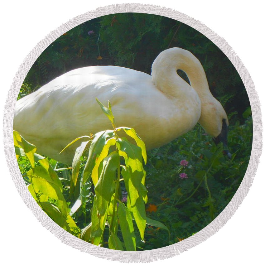 Trumpeter Swan Round Beach Towel featuring the photograph Feasting On Vegetation by LKB Art and Photography