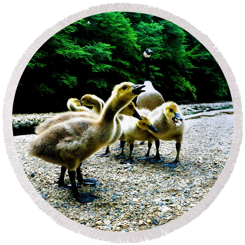 Geese Round Beach Towel featuring the photograph Feed Me Seymore - Baby Geese by Bill Cannon