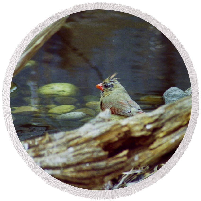 Female Round Beach Towel featuring the photograph Female Cardinal by Michael Peychich