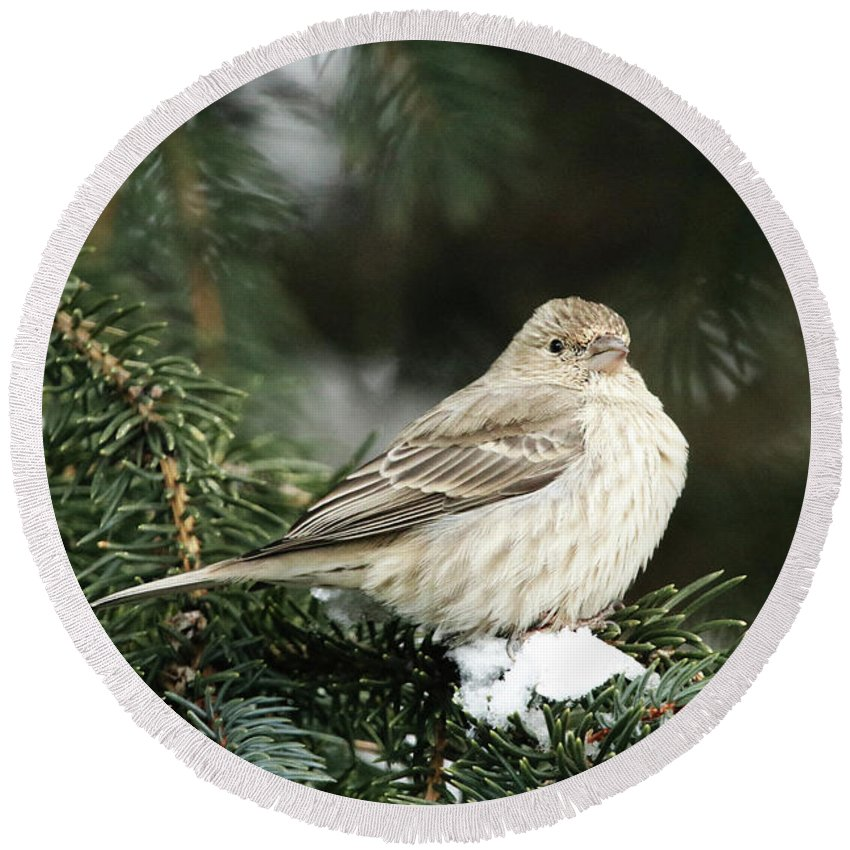 Female House Finch On Snow Round Beach Towel featuring the photograph Female House Finch On Snow by Alyce Taylor