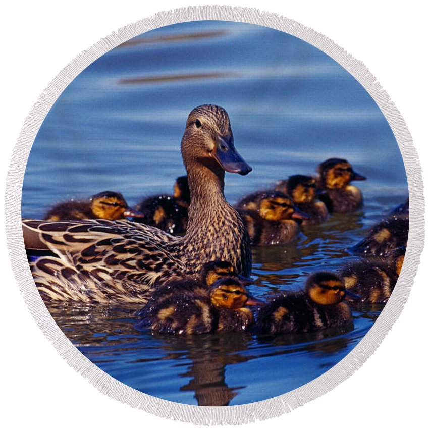 Photography Round Beach Towel featuring the photograph Female Mallard Duck With Chicks by Panoramic Images