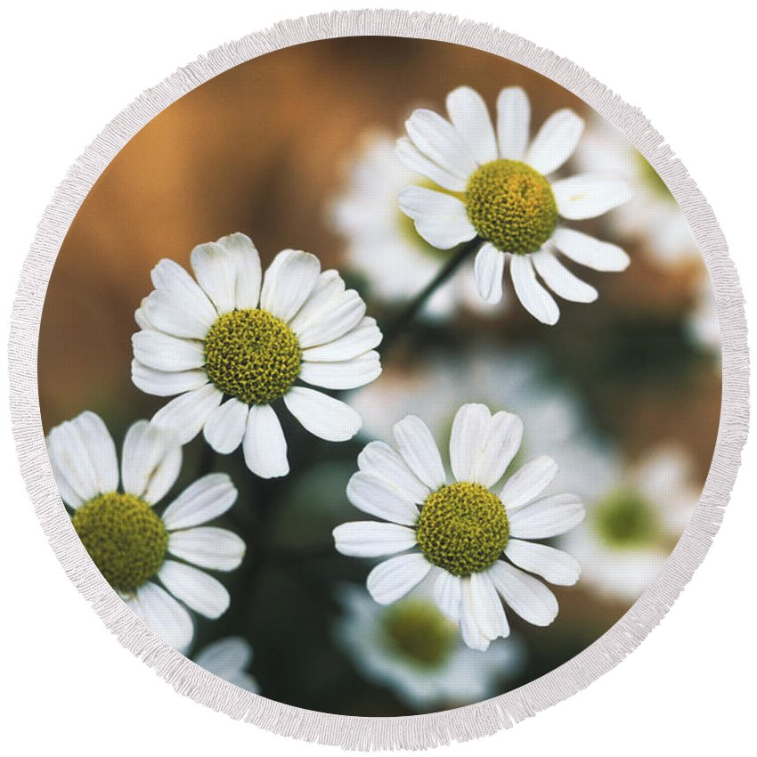 Herb Round Beach Towel featuring the photograph Feverfew Plant by George Mattei