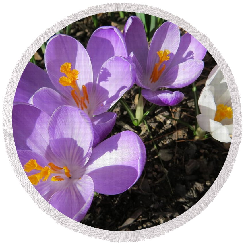 Purple And White Crocus Round Beach Towel featuring the photograph Finally Spring by Jean Costa