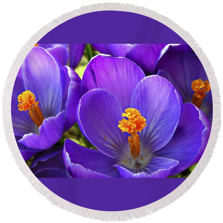 Flower Round Beach Towel featuring the photograph First Crocus by Marilyn Hunt