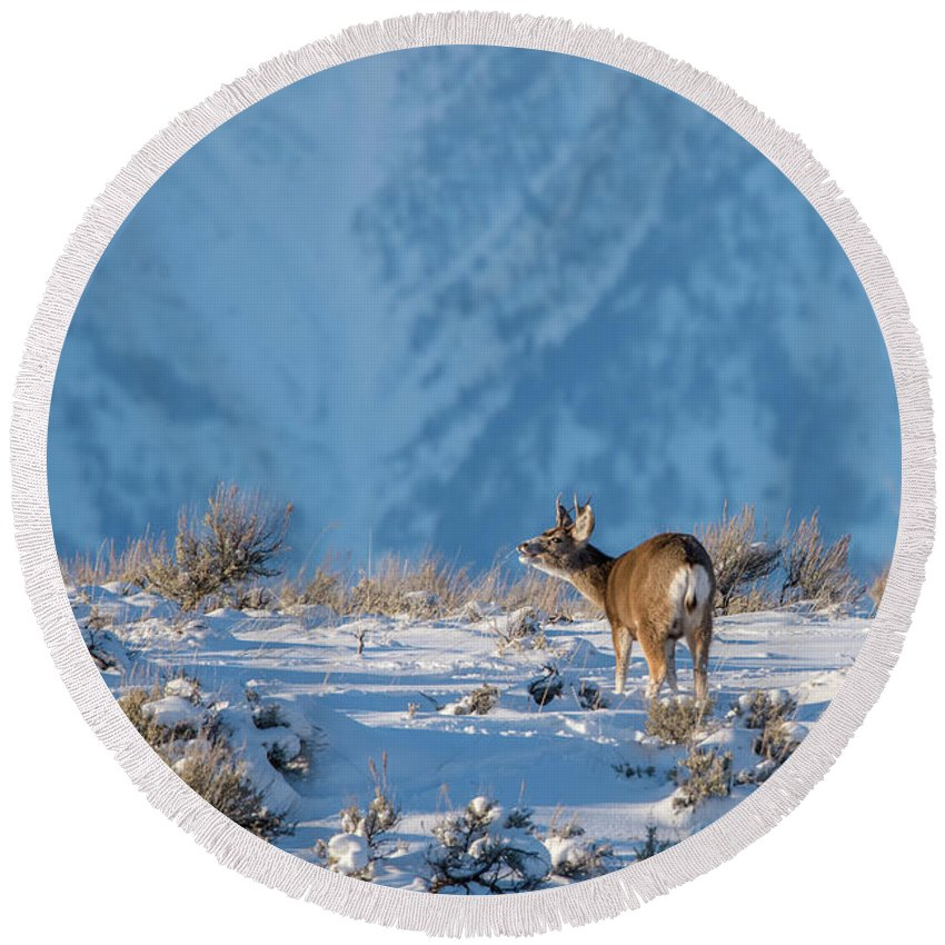 Mule Deer Buck Round Beach Towel featuring the photograph First Rut Mule Deer Buck by Yeates Photography