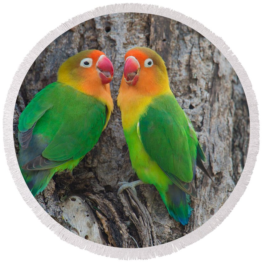Photography Round Beach Towel featuring the photograph Fischers Lovebird Agapornis Fischeri by Panoramic Images