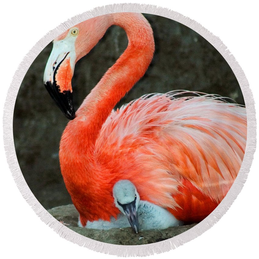 Bird Round Beach Towel featuring the photograph Flamingo And Baby by Anthony Jones
