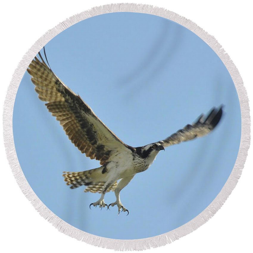 Osprey Round Beach Towel featuring the photograph Flight Of The Osprey by David Lee Thompson