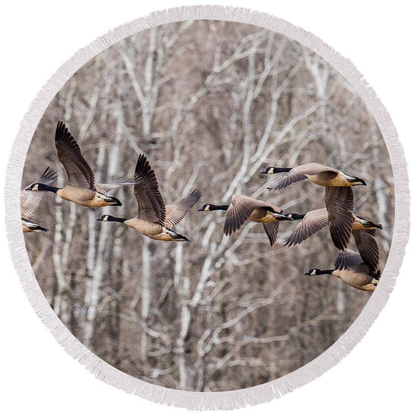 Two Geese Round Beach Towel featuring the photograph Flock Of Geese by Paul Freidlund