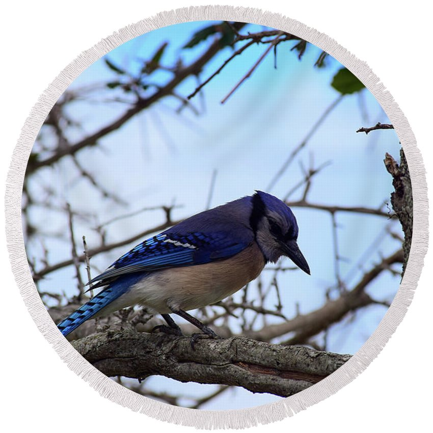 Florida Blue Jay Round Beach Towel featuring the photograph Florida Blue Jay by William Tasker