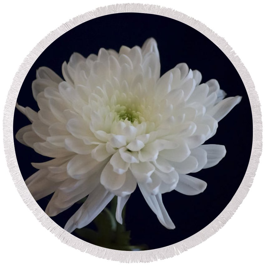 Florida Round Beach Towel featuring the photograph Florida Flowers - White Gerbera Ready For Full Bloom by Ronald Reid