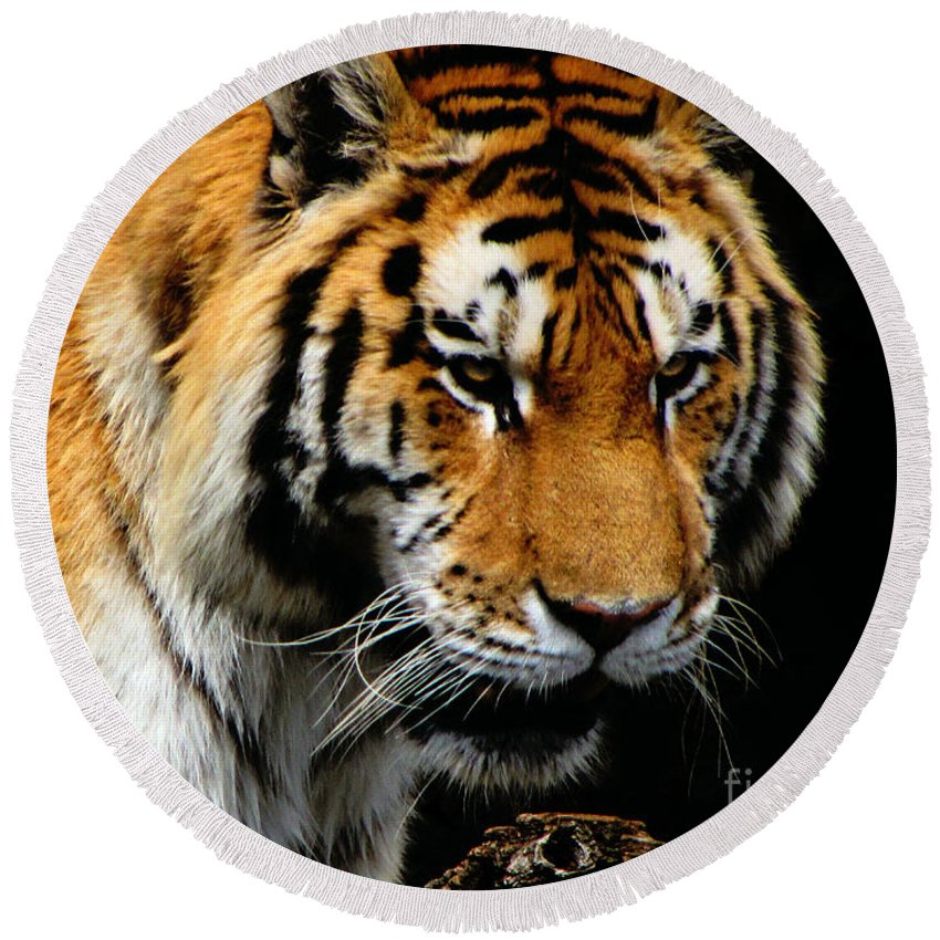 Tiger Round Beach Towel featuring the photograph Focused by September Stone