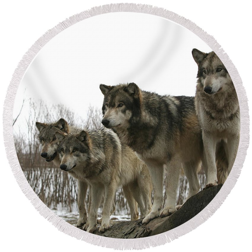 Wolf Wolves Mammals Animals Photography Photograph Winter Wolf Round Beach Towel featuring the photograph Four Pack by Shari Jardina