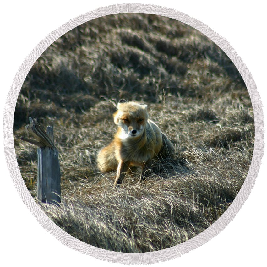 Red Fox Round Beach Towel featuring the photograph Fox In The Wind by Anthony Jones
