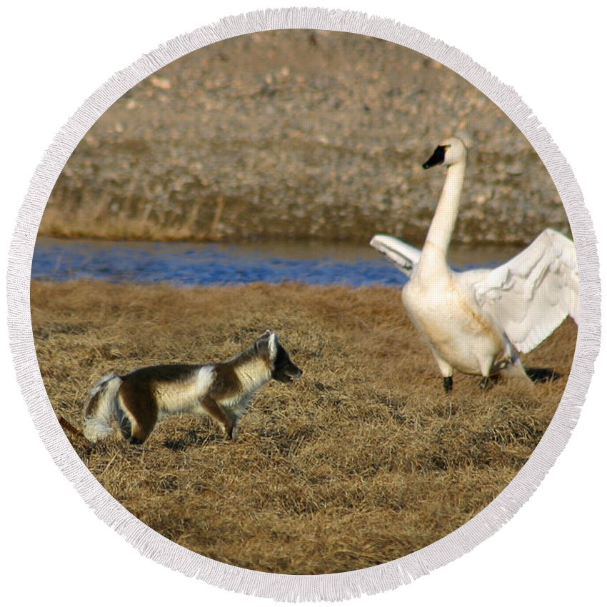 Fox Round Beach Towel featuring the photograph Fox Vs Swan by Anthony Jones