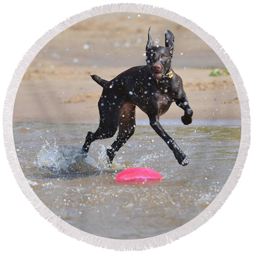 German Shorthaired Pointer Round Beach Towel featuring the photograph Frisbee On The Beach by Tammy Mutka