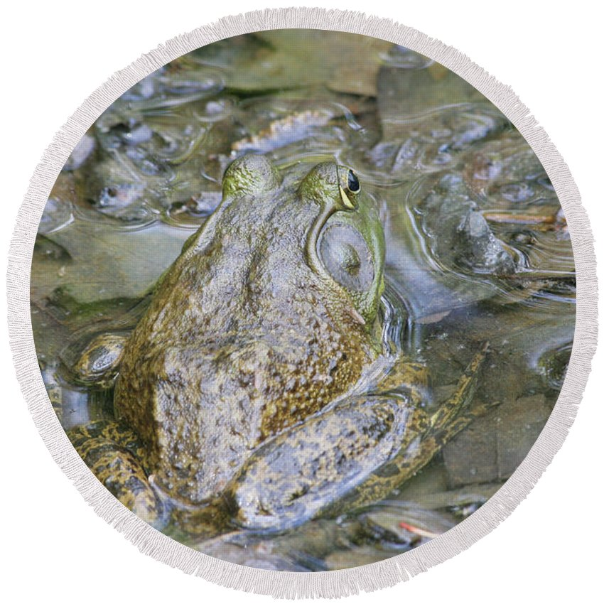 American Bullfrog Round Beach Towel featuring the photograph Frogs Eye View by Judy Whitton