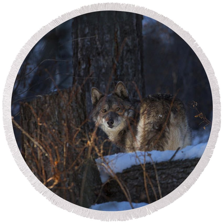 Wolf Round Beach Towel featuring the photograph From A Distace by Jeff Shumaker