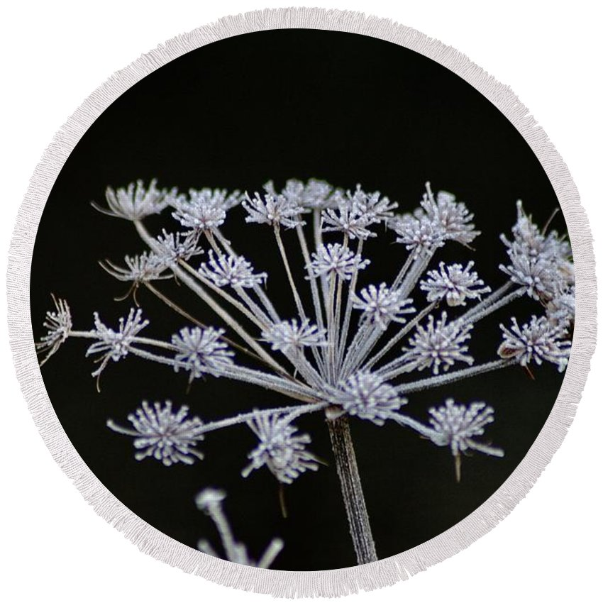 Seed Round Beach Towel featuring the photograph Frosted Hogweed by Hannah Goddard-Stuart