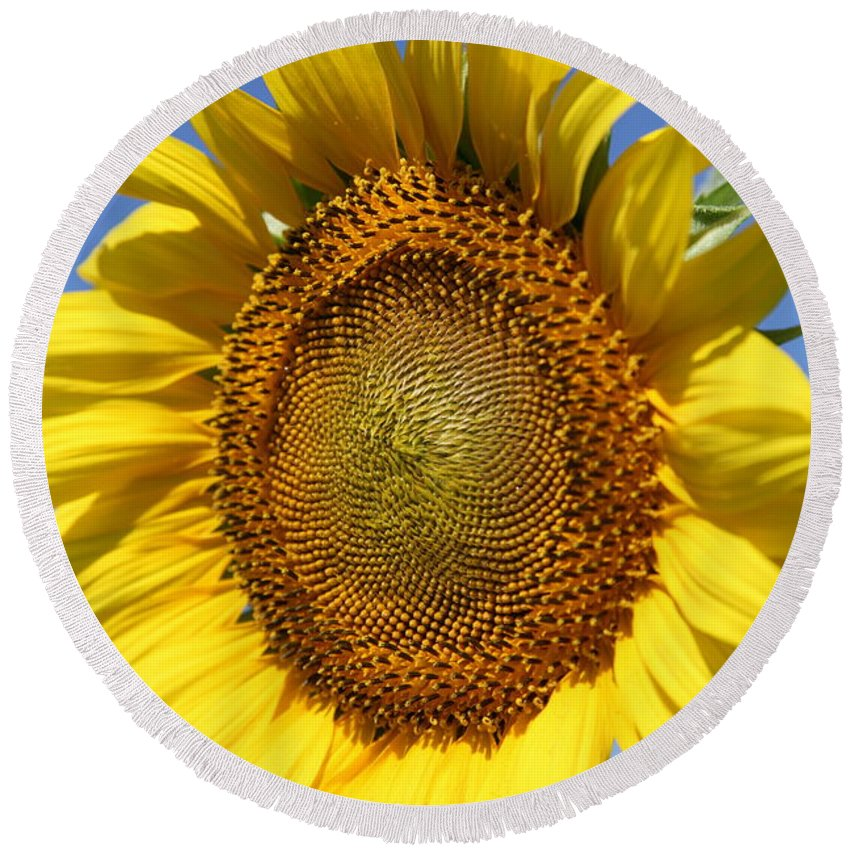 Sunflowers Round Beach Towel featuring the photograph Full by Amanda Barcon