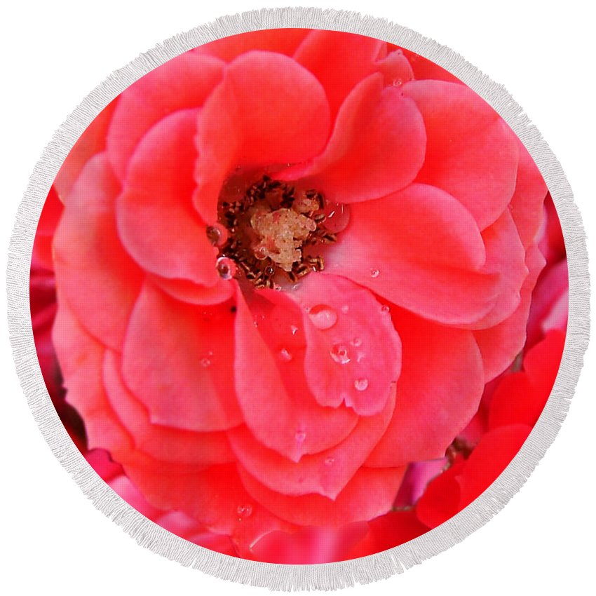 Roses Round Beach Towel featuring the photograph Full Bloom by Anthony Jones