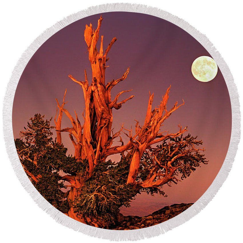 North America Round Beach Towel featuring the photograph Full Moon Behind Ancient Bristlecone Pine White Mountains California by Dave Welling