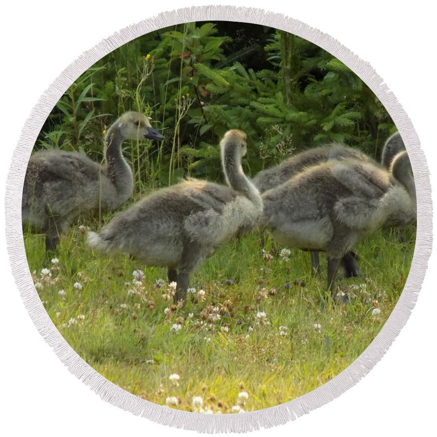 Canadian Geese Round Beach Towel featuring the photograph Fuzzy Fowlings by William Tasker