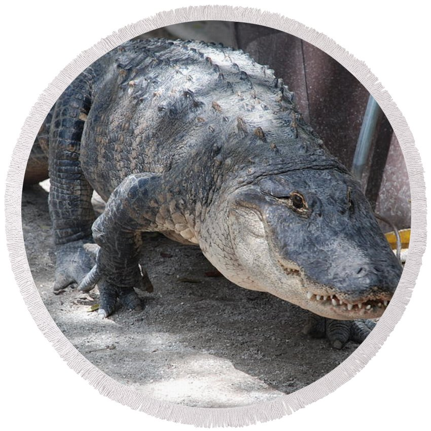 Alligator Round Beach Towel featuring the photograph Gator On The Move by Rob Hans