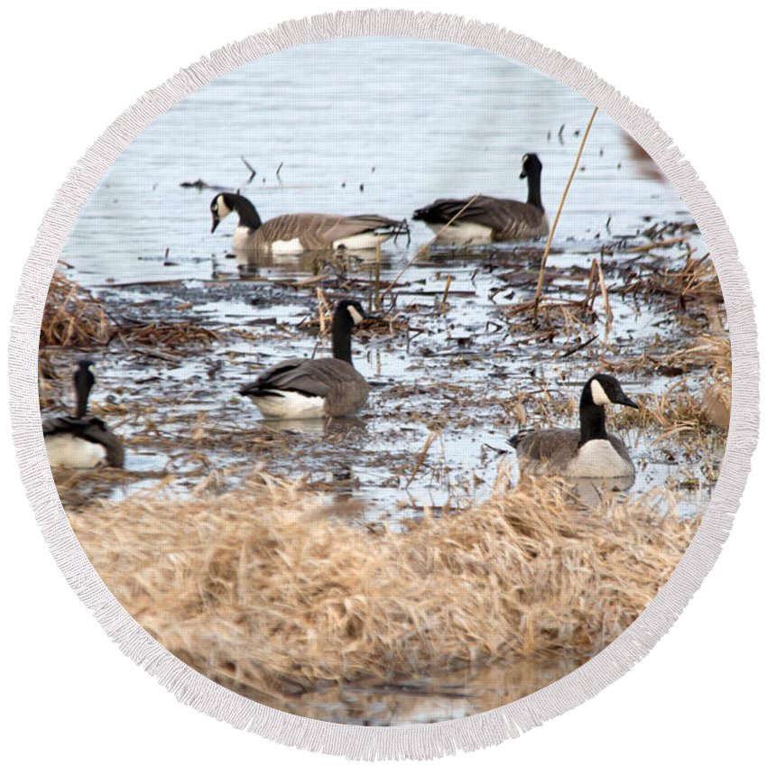 Canadian Geese Round Beach Towel featuring the photograph Geese Hangout by Linda Kerkau