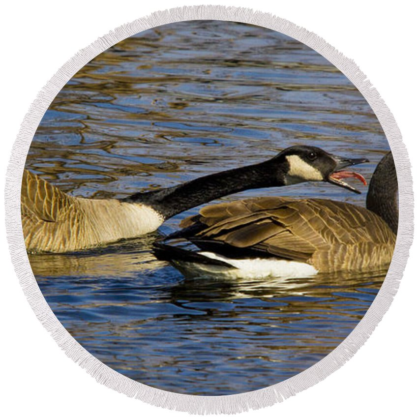 Canadian Geese Round Beach Towel featuring the photograph Getting An Earful by Robert Storost