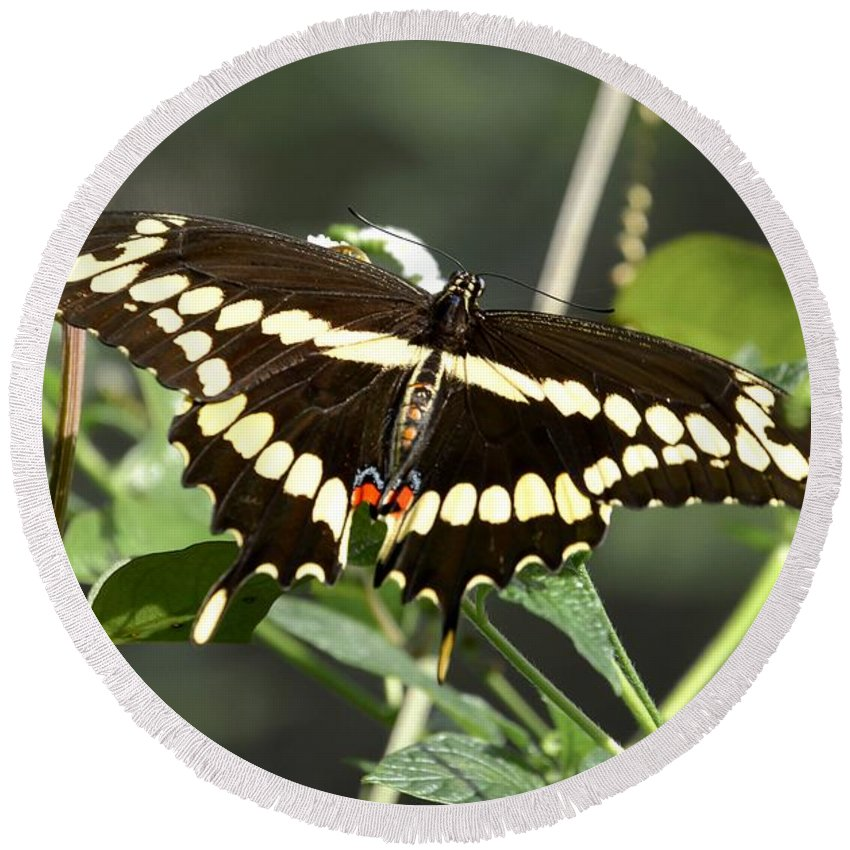 Greeting Round Beach Towel featuring the photograph Giant Swallowtail Butterfly by Lisa Kilby